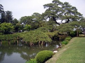 庭園の老松
