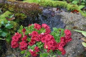手洗い場の菊