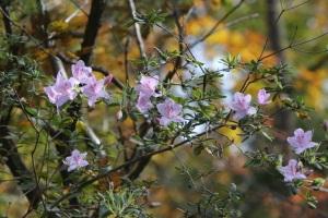ツツジの狂い咲