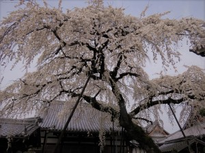 円明寺枝垂桜