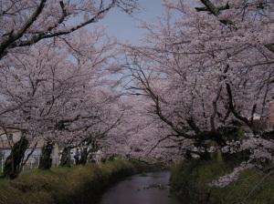 仰ぎ見た  桜の下で  立ち止まる