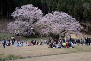 薄墨桜とその2世