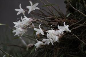 セッコクの花 白色