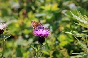 ミヤマコアザミとセセリ蝶