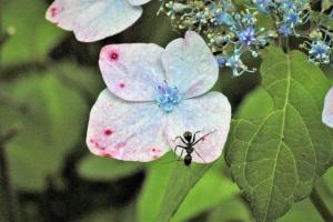 紫陽花と蟻