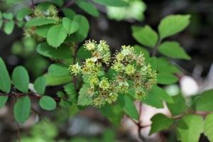 コシアブラの花