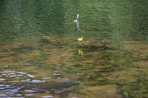 小魚、コウホネ、鯉