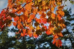 ハウチカエデの紅葉