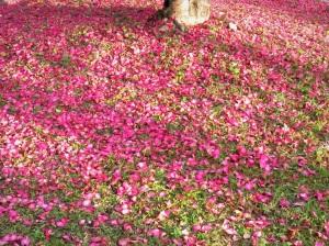 公園の山茶花落花